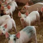 10 TIPS ON HOW TO START A PIGGERY
