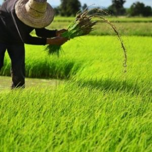 10 TIPS ON HOW TO START A RICE FARM